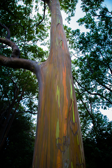 Painted Eucalyptus by TheTalkingTrails