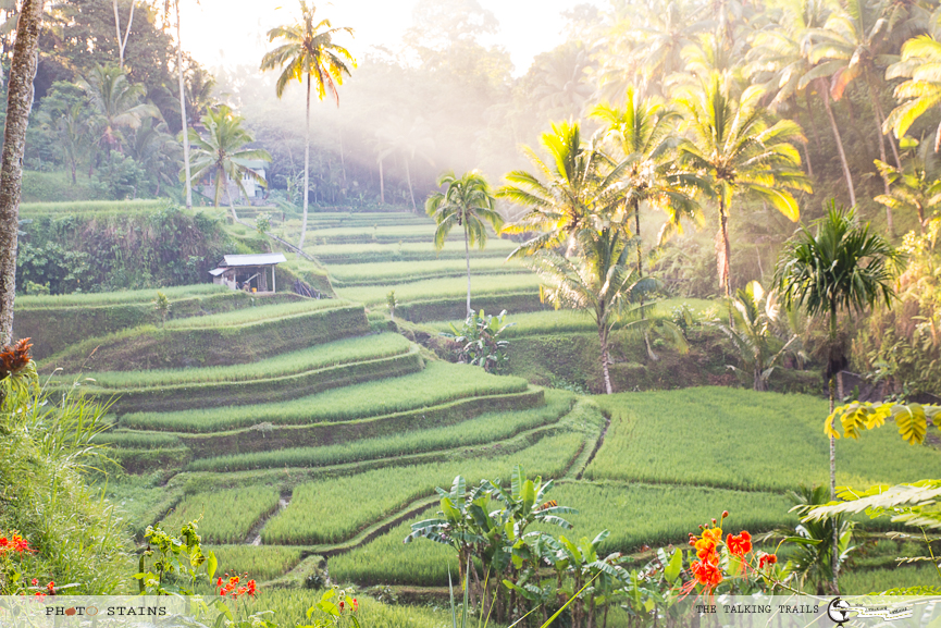 Bali Rice Field by TheTalkingTrails